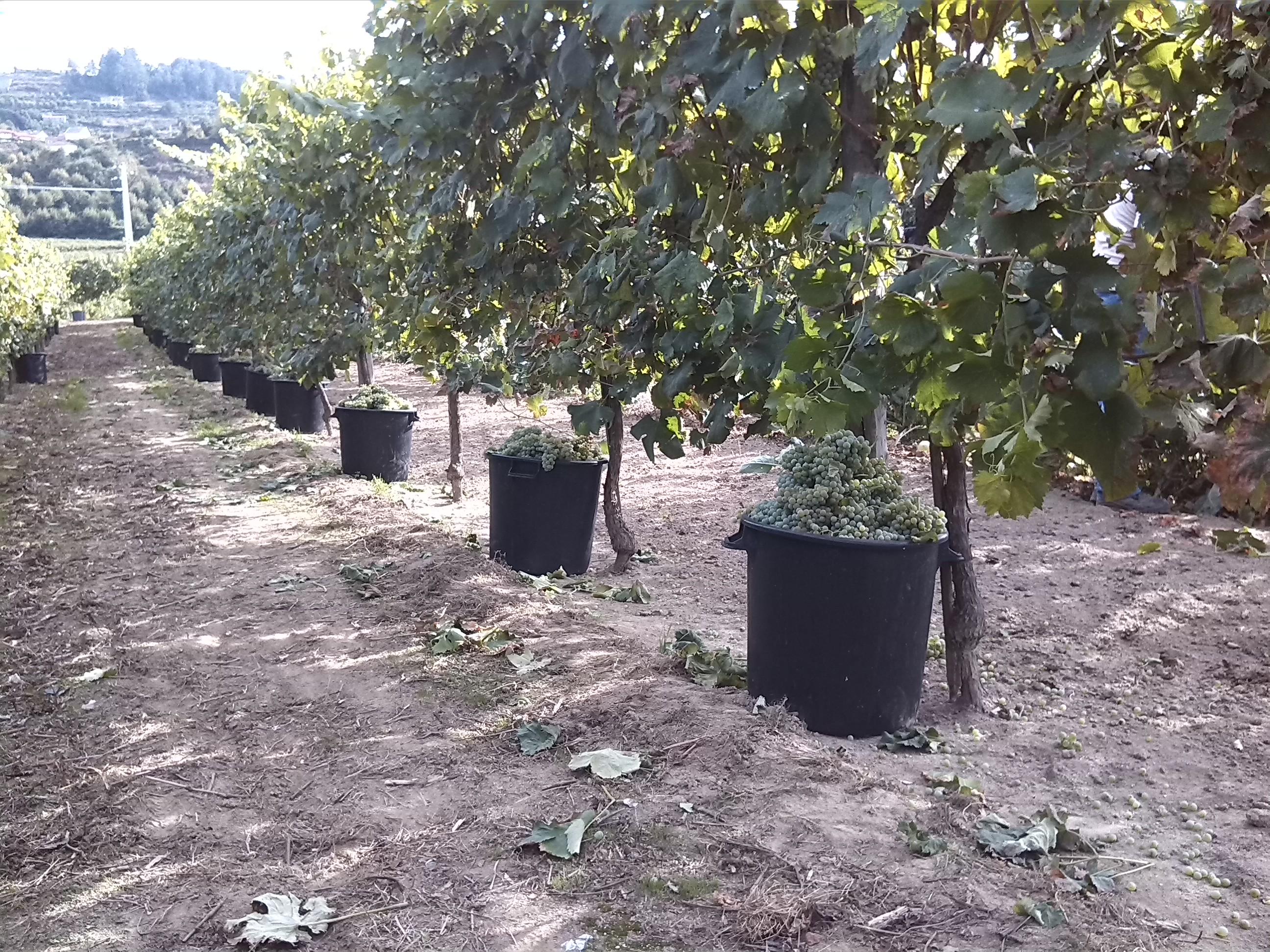 boasVinhas-ed10-ja-valorizou-as-suas-uvas